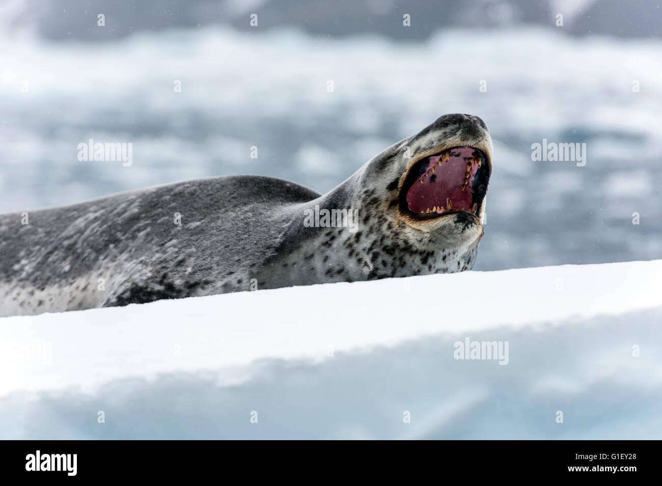 Leopard seal (Hydrurga leptonyx) or sea leopard yawning on ice Cierva Cove Antarctic Peninsula Antarctica - Stock Image