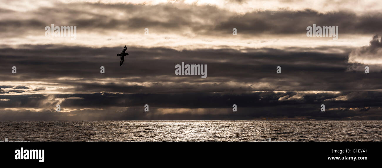 Cape petrel (Daption capense) Cape pigeon or pintado petrel in flight at sunset Drake Passage Southern Ocean - Stock Image