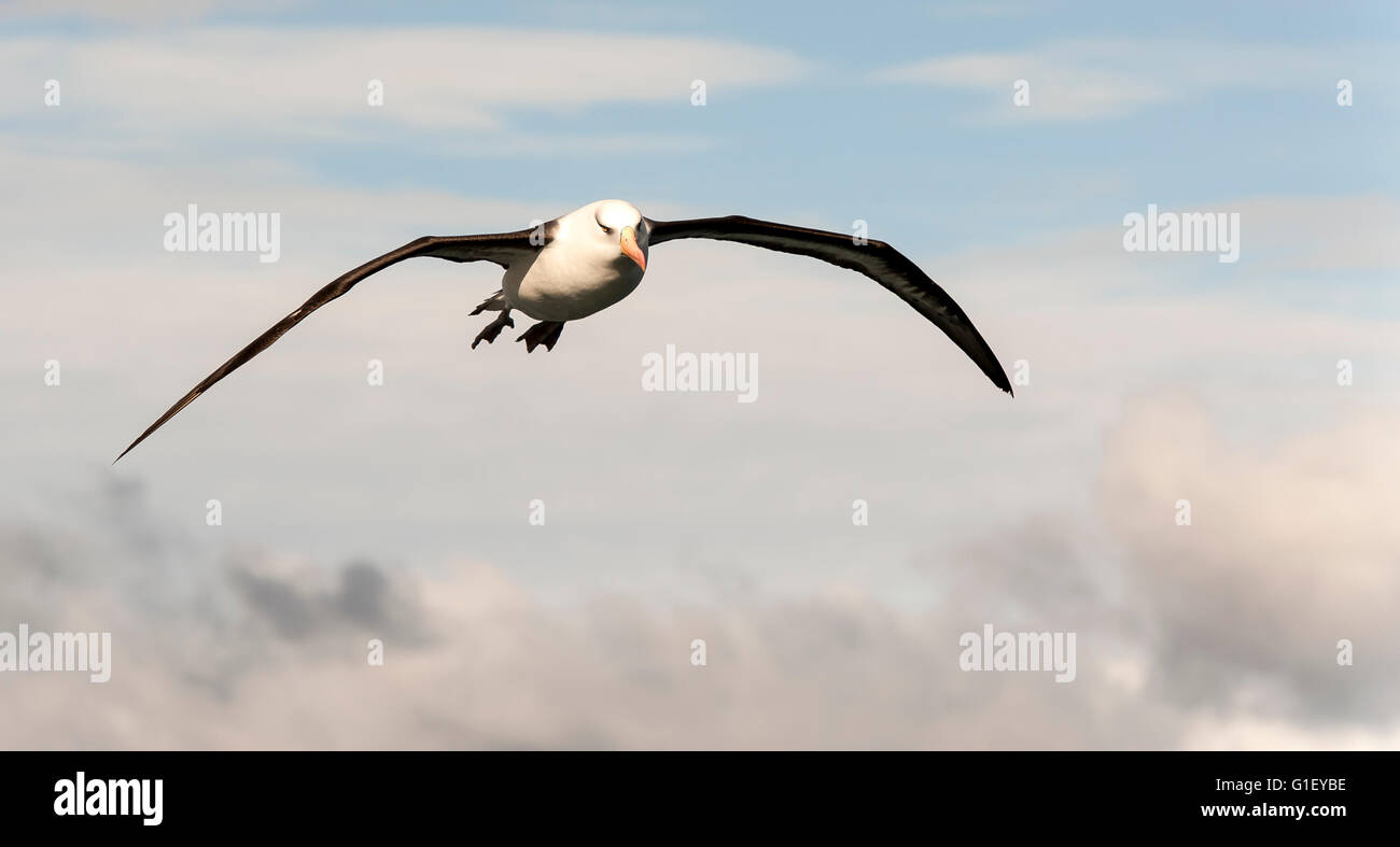Black-browed Albatross (Thalassarche melanophris) in flight Southern Ocean sub-antarctic New Zealand - Stock Image