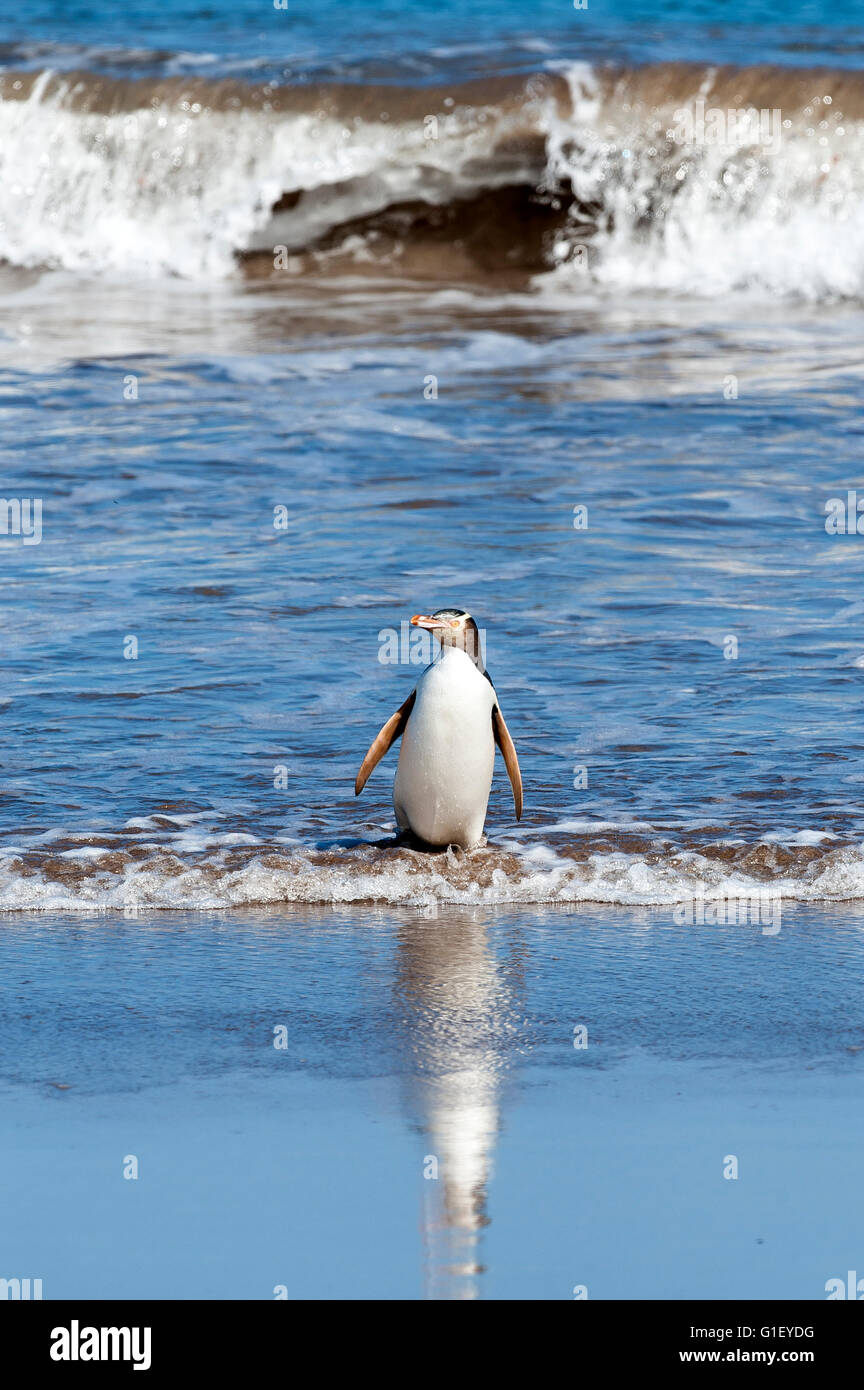 Yellow-eyed penguin (Megadyptes antipodes) coming out of water Enderby island New Zealand - Stock Image