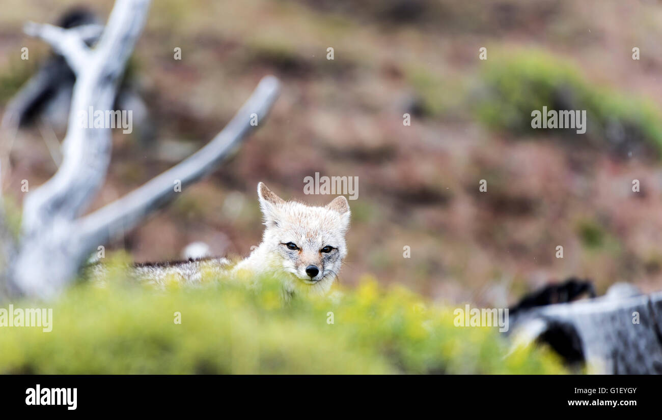 South American or Patagonian grey fox (Lycalopex griseus) Torres del Paine National Park Chilean Patagonia Chile - Stock Image