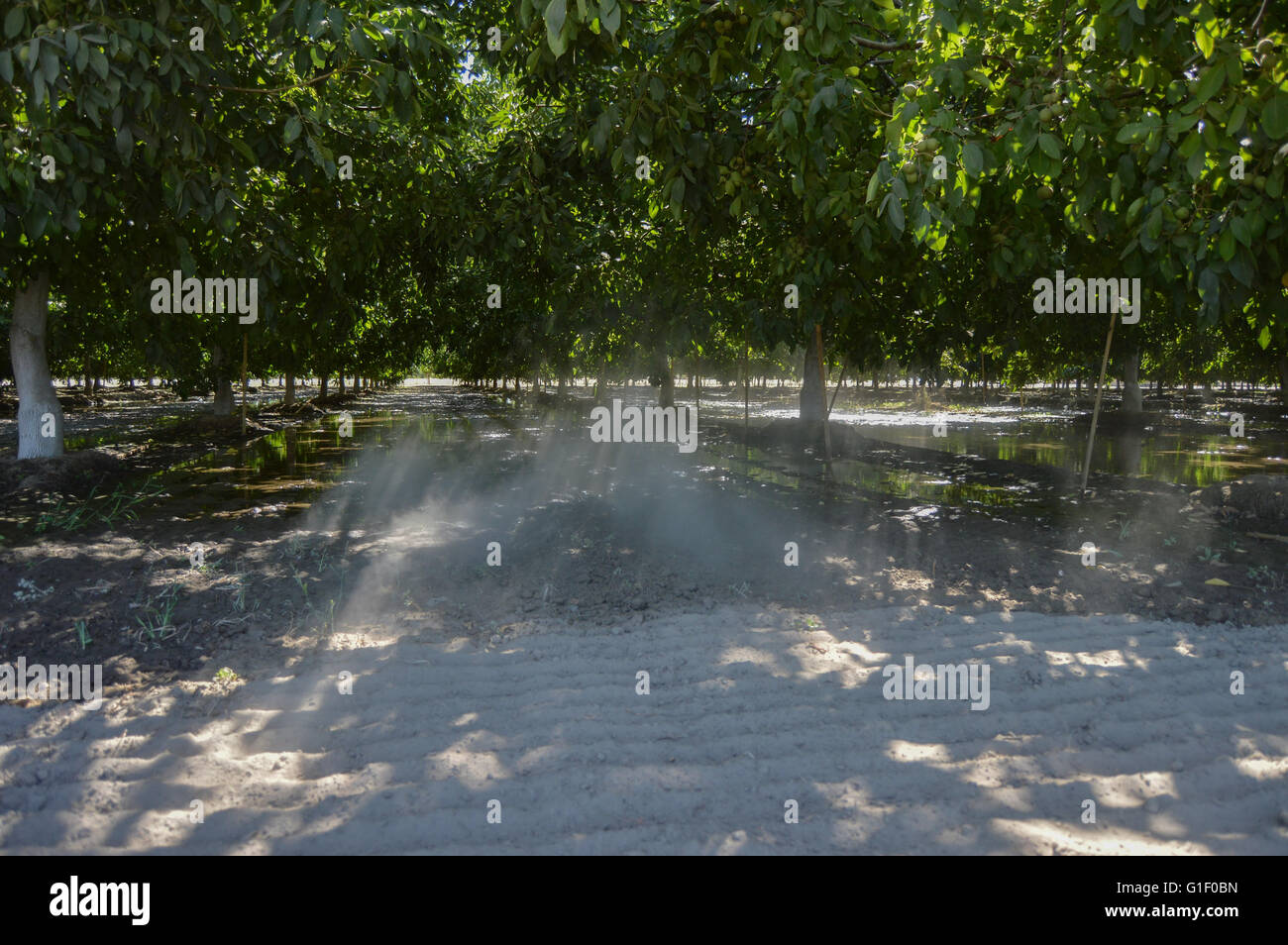 Dusty shaded orchard - Stock Image