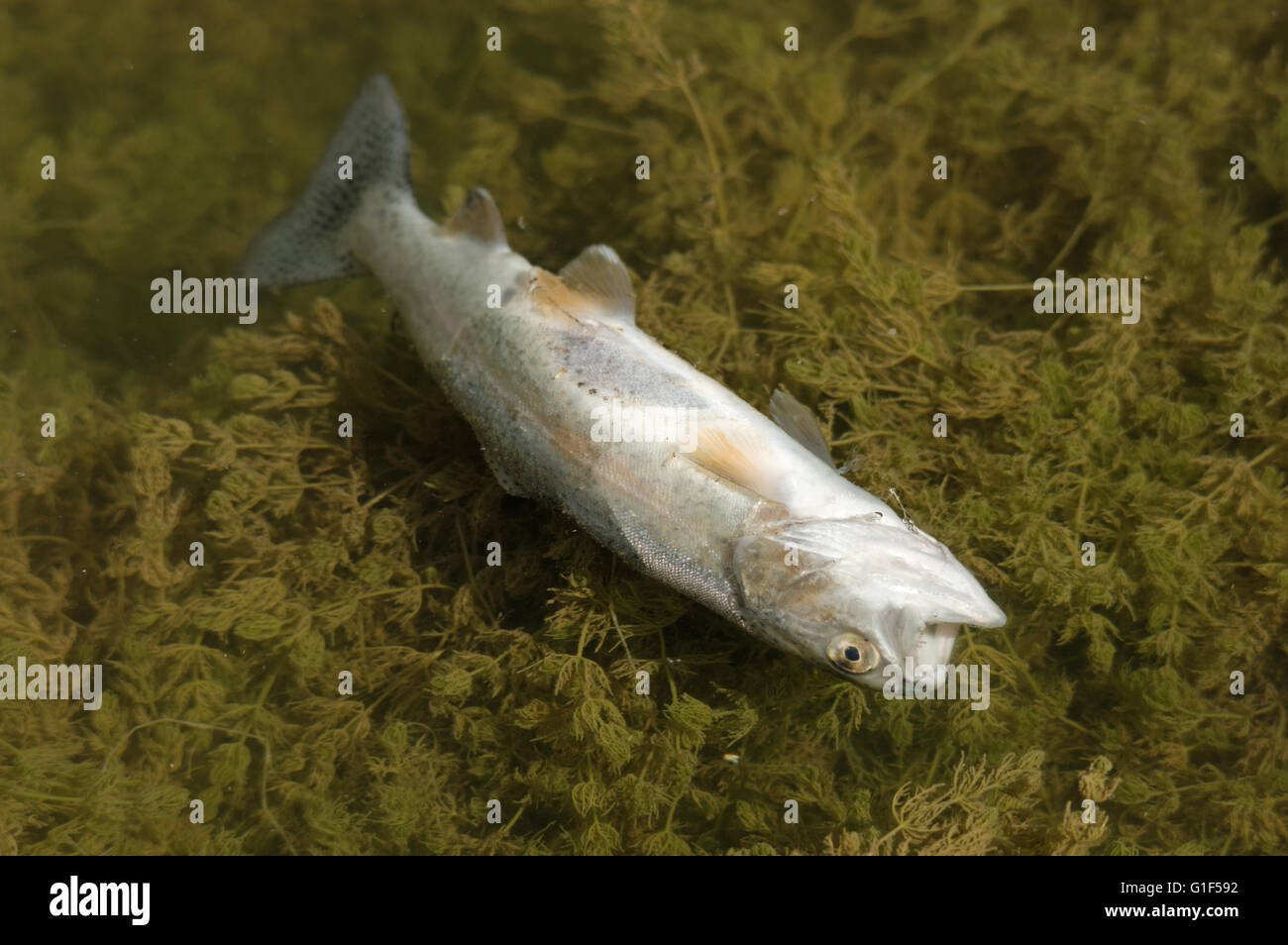 dead trout floating belly up in the water above some water plants - Stock Image