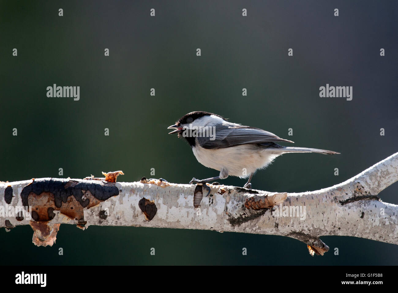 Black capped chickadee chirps while perched on birch branch - Stock Image