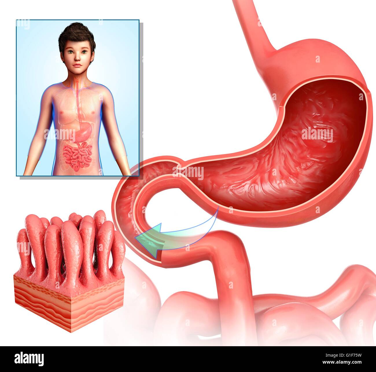 Human small intestinal villi, illustration Stock Photo: 104211797 ...