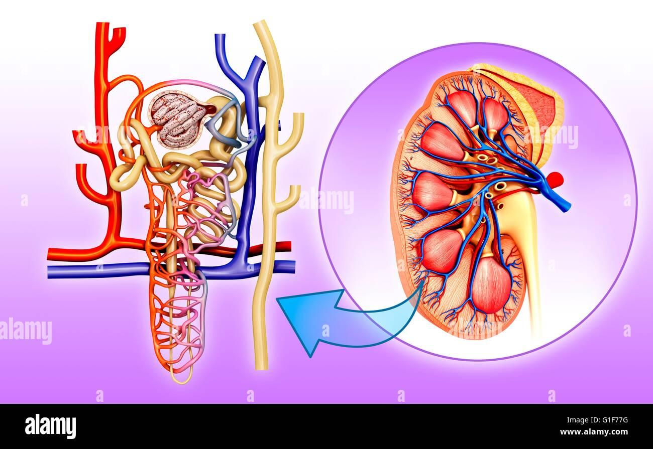Tolle Anatomie Von Nephron In Niere Fotos - Physiologie Von ...