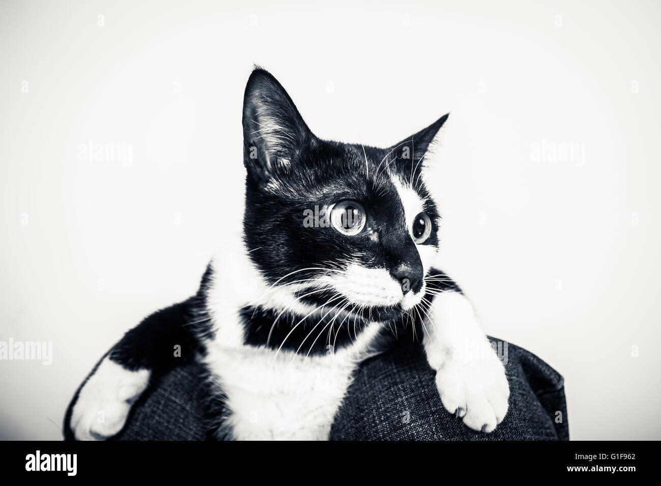 Cute portrait of a Manx cat - Stock Image