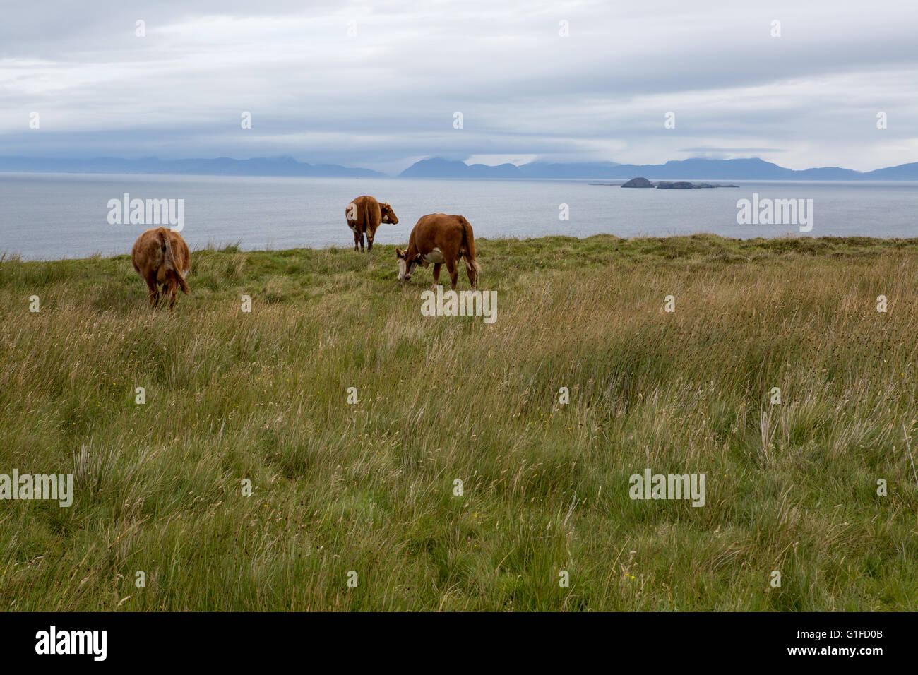 Cows in field, Northern Coast of Isle of Skye, Inner Hebrides, Scotland, UK - Stock Image