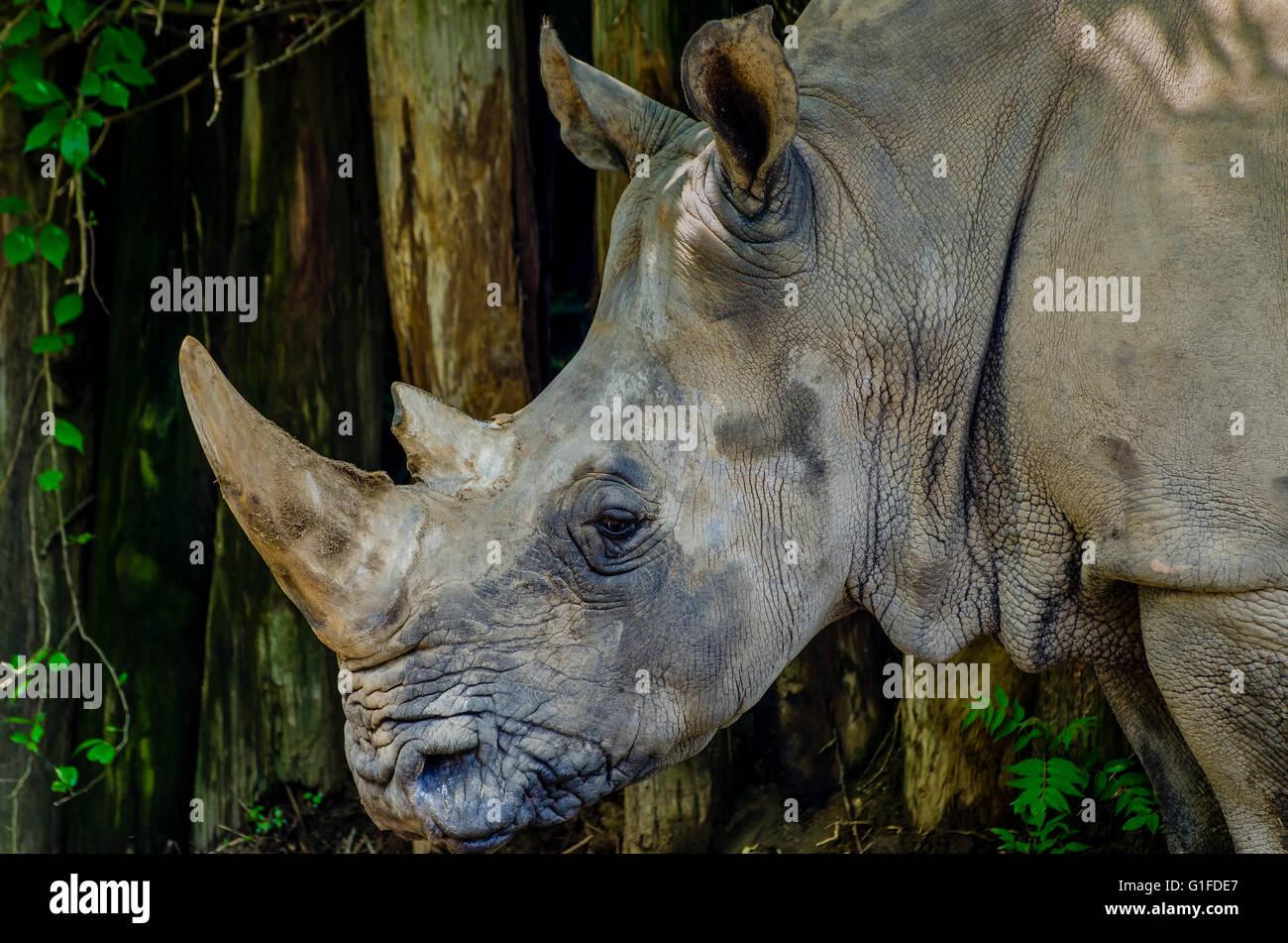 Rhino at the Louisville Kentucky Zoo - Stock Image