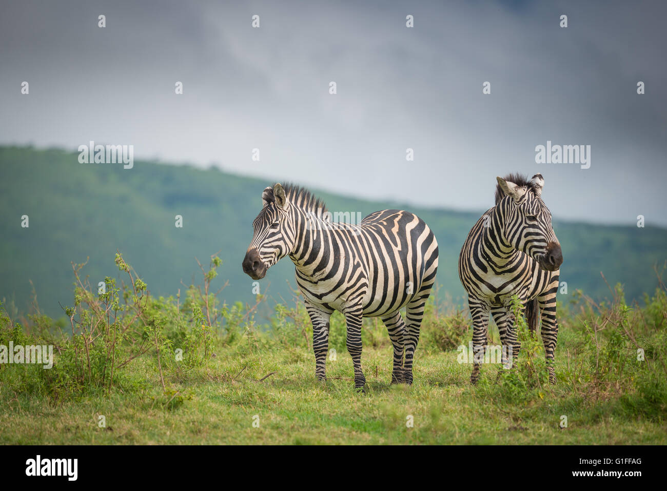 Two wild Zebra standing on the African grasslands found within the Ngorongoro Crater in Tanzania, East Africa - Stock Image