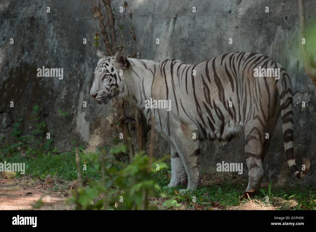 White Royal Bengal tiger (Panthera tigris tigris), Felidae, Asia Stock Photo