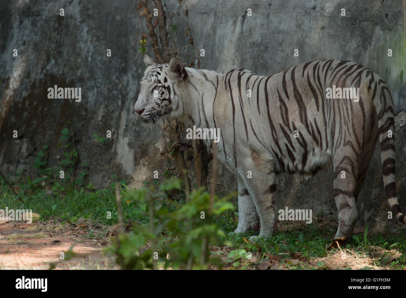 White Royal Bengal tiger (Panthera tigris tigris), Felidae, Asia - Stock Image