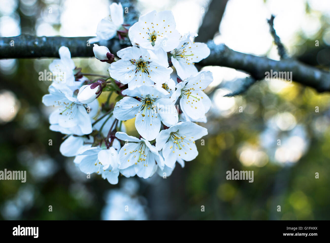 Bird Cherry (Prunus padus) blossoms in springtime. This is a small wild native British tree Stock Photo