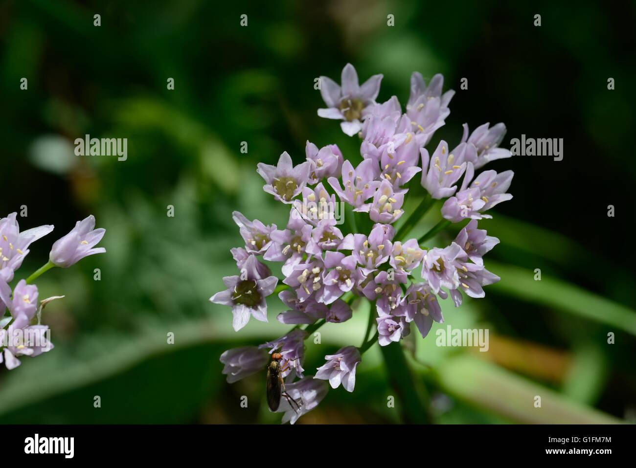 Allium spp. - Stock Image