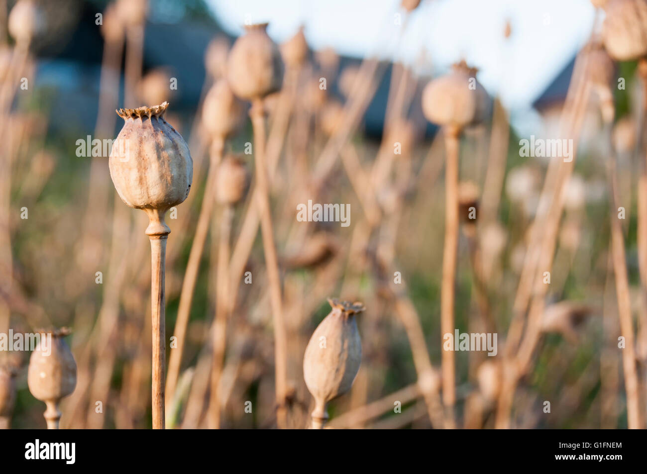 Poppy heads on field at rural farm - Stock Image