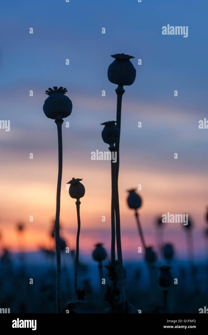 Poppy heads on field at rural farm during sunset - Stock Image