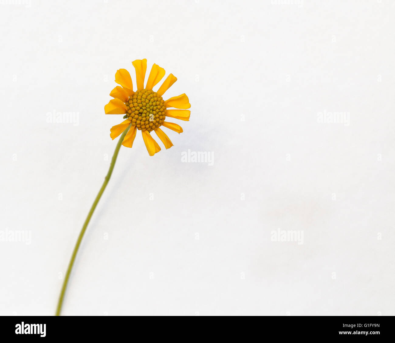 The Brittle Bush Flower - Stock Image