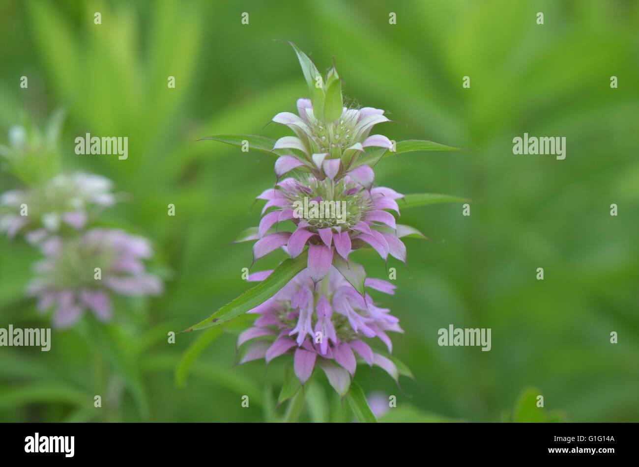 Lemon Bee Balm (monarda citriodora) in Bloom - Stock Image