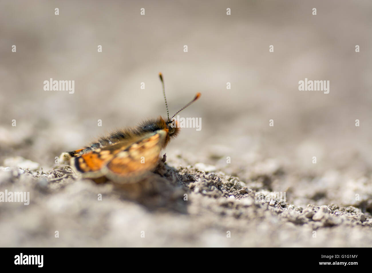 Marsh fritillary butterfly (Euphydryas aurinia) in profile. A scarce butterfly in the family Nymphalidae, at rest - Stock Image