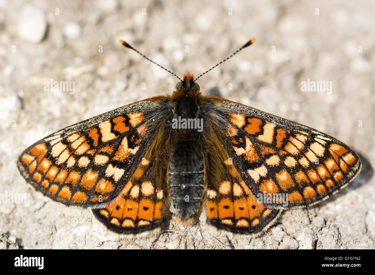Marsh fritillary butterfly (Euphydryas aurinia) from above. A scarce butterfly in the family Nymphalidae, at rest - Stock Image