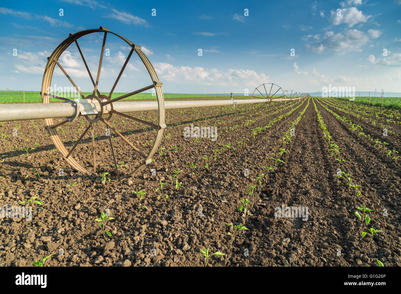 Paprika field with irrigation system - Stock Image