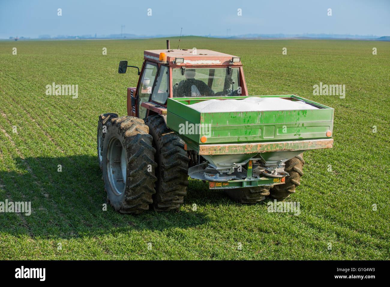 Farmer fertilizing wheat with nitrogen, phosphorus, potassium fertilizer - Stock Image