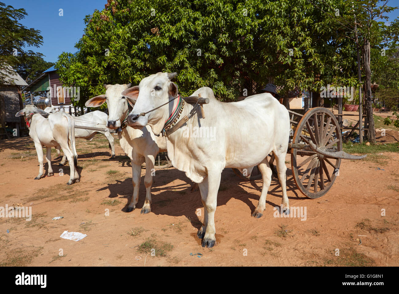 Cows sheperd in the countryside of Cambodia - Stock Image
