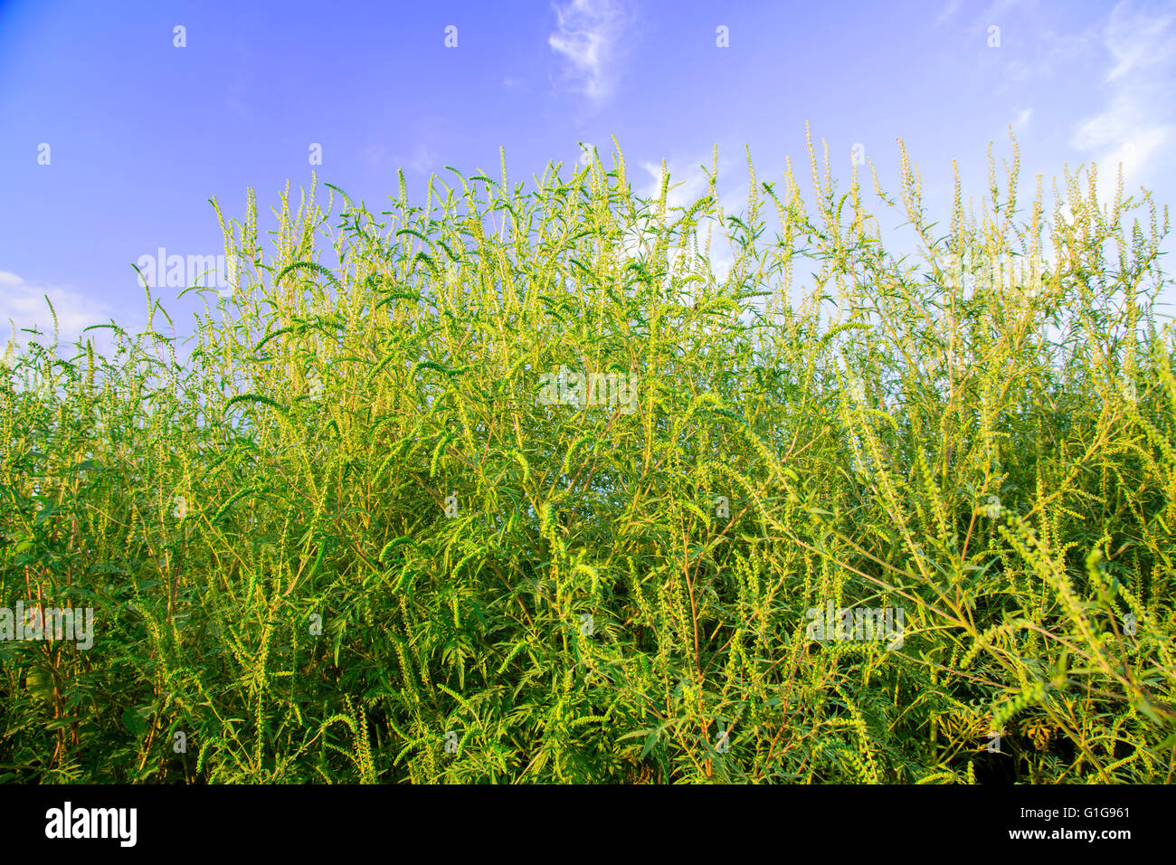 Ambrosia weed in full growth Stock Photo