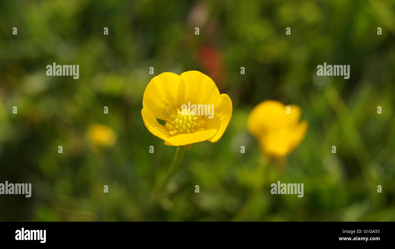 99cfa148f0e Buttercup Bud Stock Photos & Buttercup Bud Stock Images - Alamy