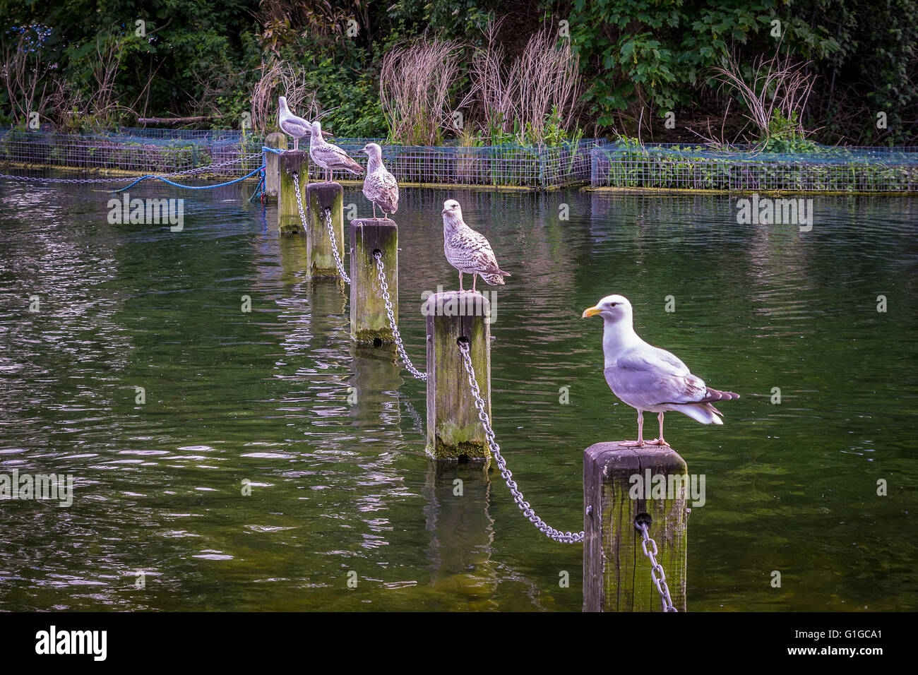 Five seagulls in a row sitting on posts on the Serpentine in Hyde park London. - Stock Image