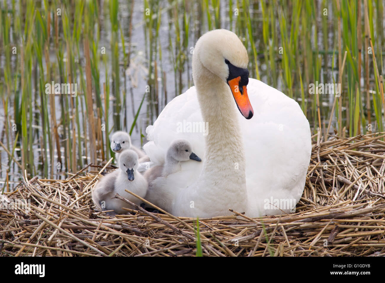 Mute Swan Cygnus olar on the nest with newly hatched Cygnets - Stock Image