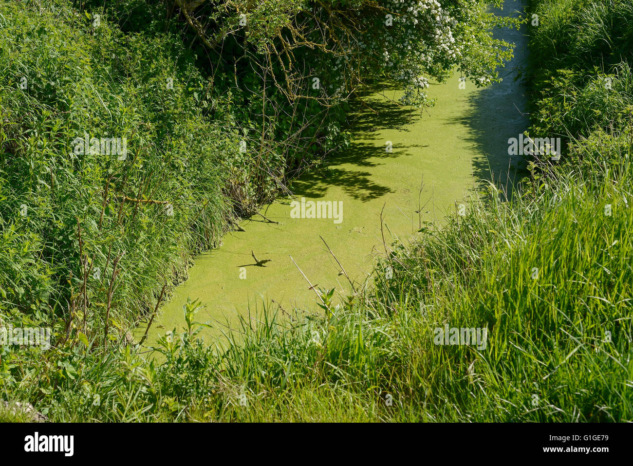 Green algae in a drainage ditch in UK countryside - Stock Image