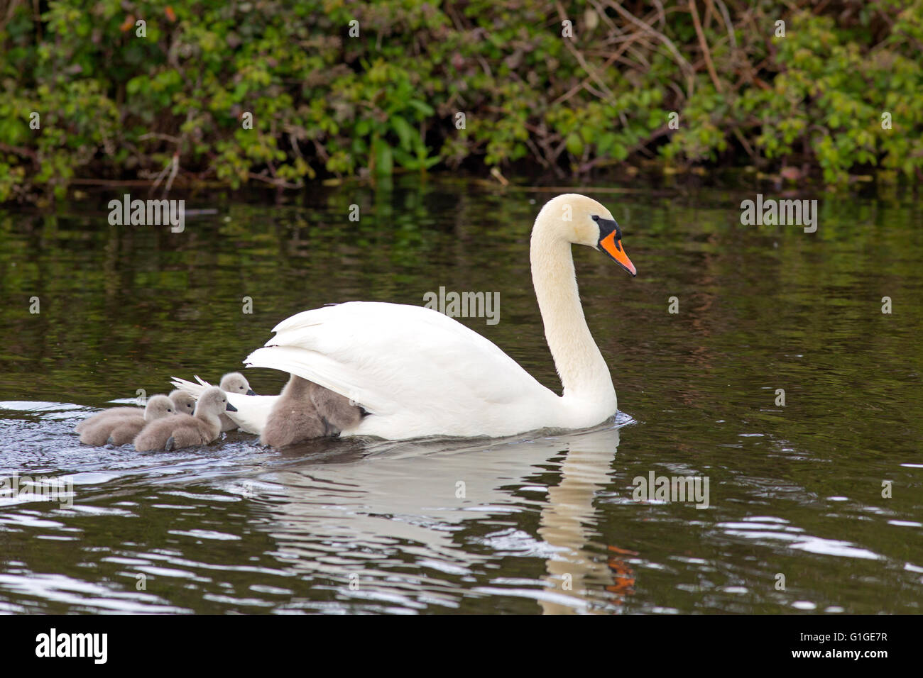 Mute Swan Cygnus olar female swimming with newly hatched Cygnets - Stock Image