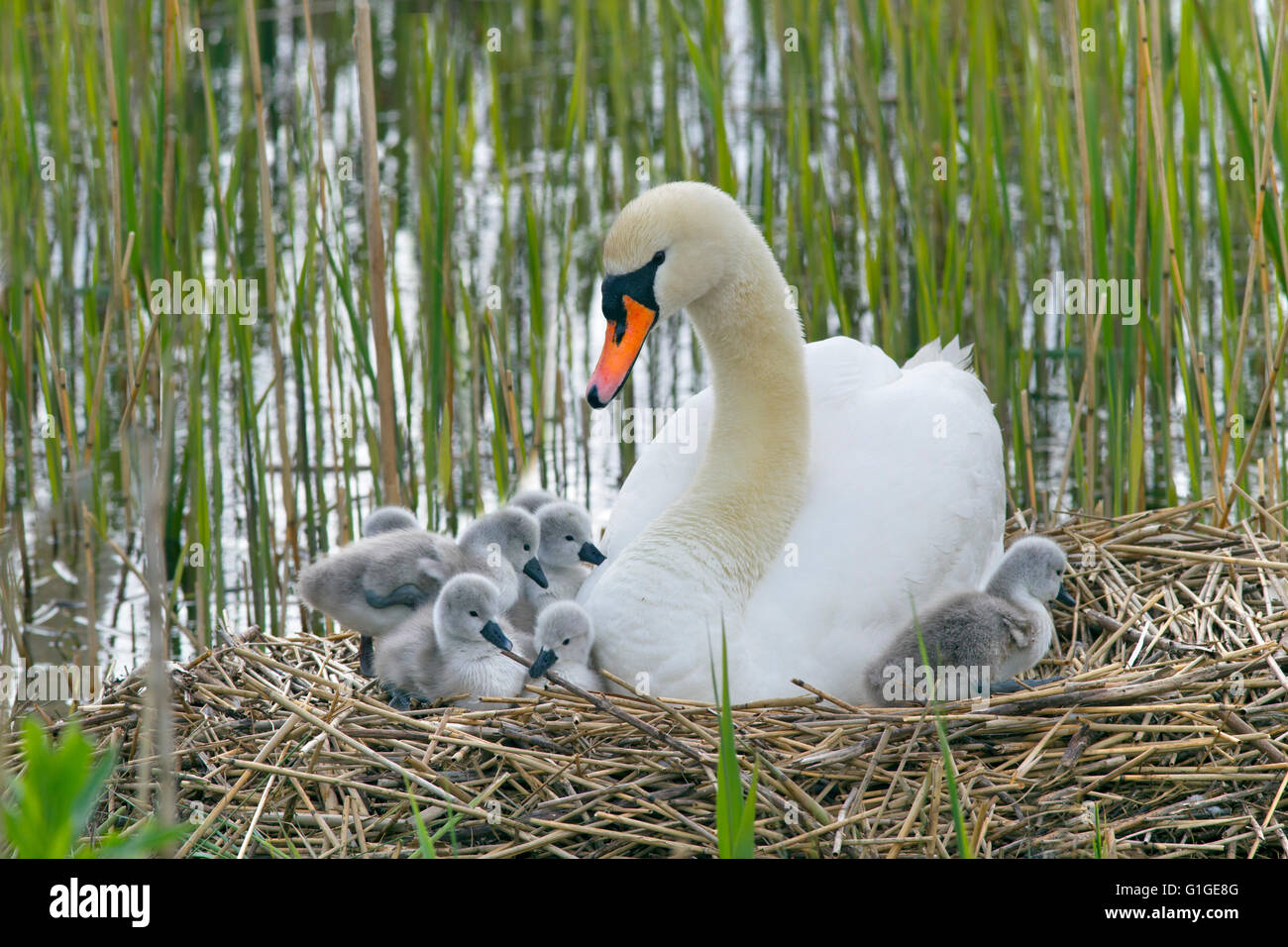 Mute Swan Cygnus olar on the nest with newly hatched Cygnets Stock Photo