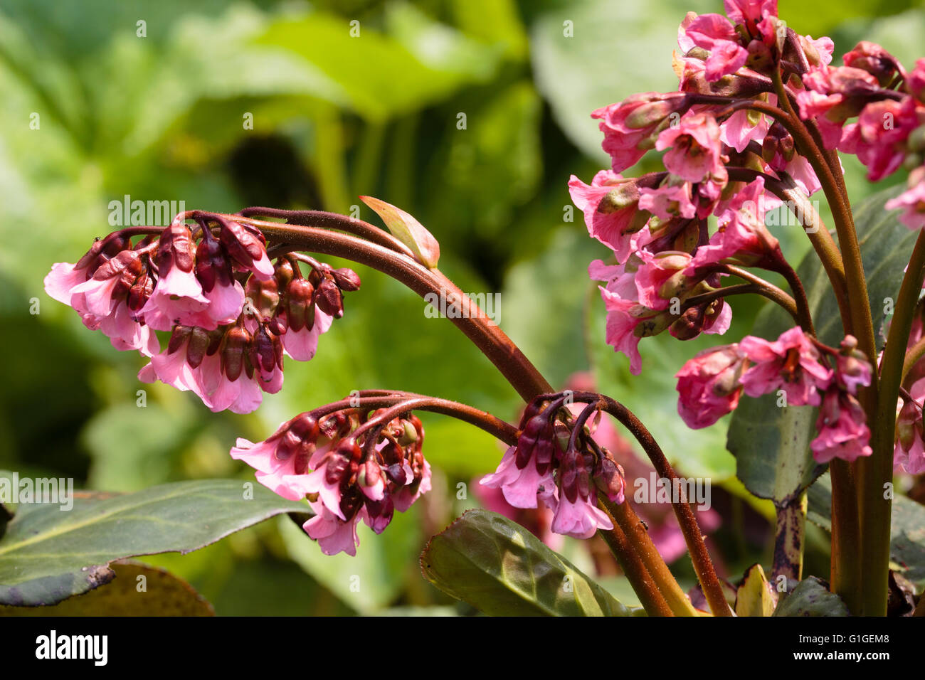 Spring flowers of the large leaved, evergreen perennial, Bergenia 'Bressingham Salmon' Stock Photo
