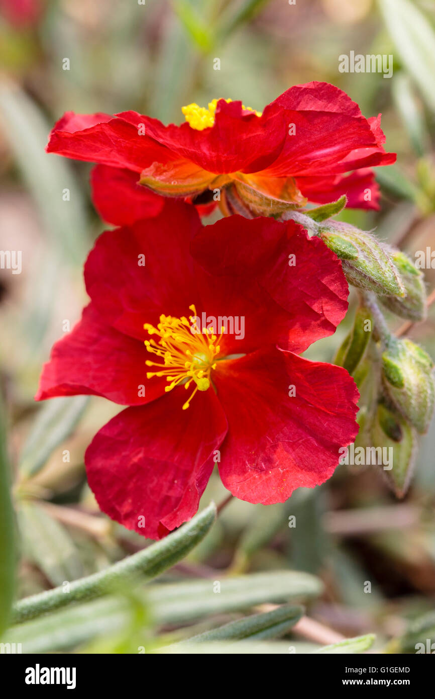 Close up of the crumpled petalled red flowers of the rock rose, Helianthemum 'Red Orient' - Stock Image