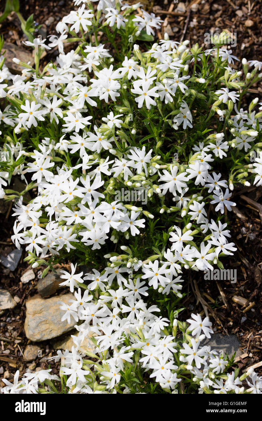 5 Petalled White Flowers Adorn The Creeping Stems Of The Moss Phlox