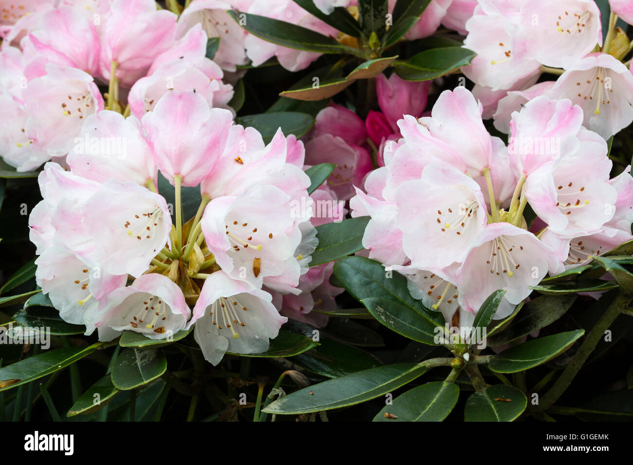 Pink flushed white bell flowers in the trusses of the evergreen pink flushed white bell flowers in the trusses of the evergreen shrub rhododendron glendoick silver mightylinksfo