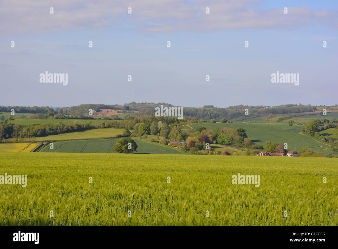 English summer landscape. Looking across wheat field near Blackford in rural Somerset, England - Stock Image