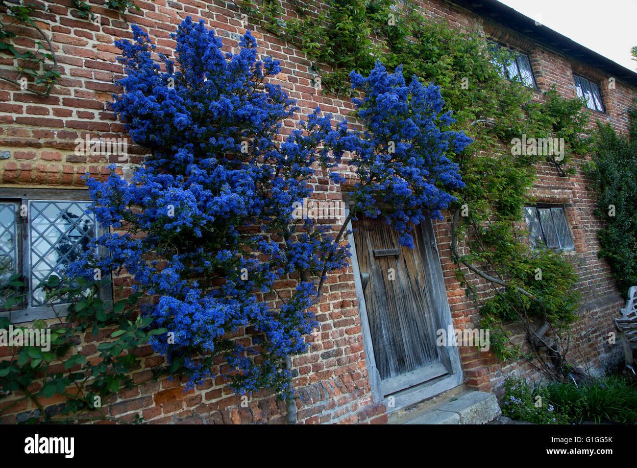 ceanothus puget blue sissinghurst castle garden stock. Black Bedroom Furniture Sets. Home Design Ideas