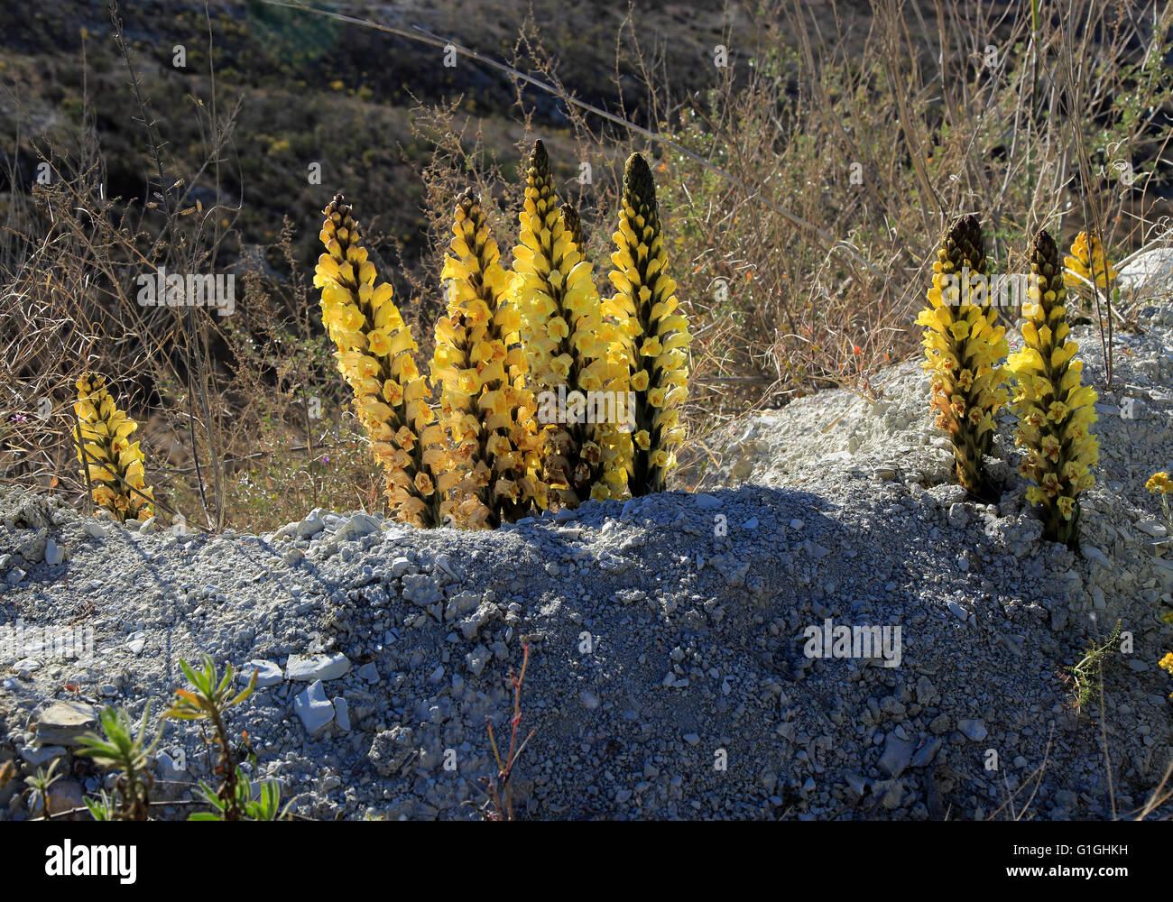 Yellow broomrape, Cistanche phelypaea, flowering in Paraje Natural de Karst en Yesos, Sorbas, Almeria, Spain Stock Photo