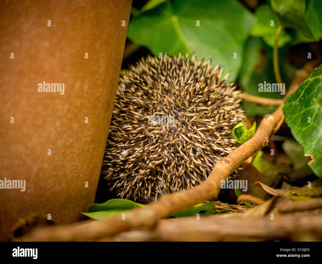 Hedgehog curled up in ball sleeping facing away from camera - Stock Image
