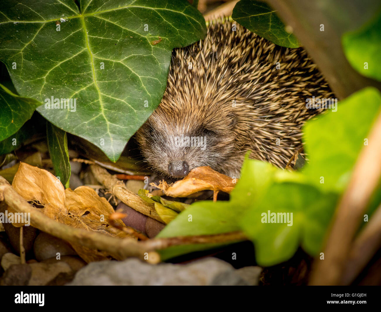 Hedgehog sleeping in leaves in garden Stock Photo
