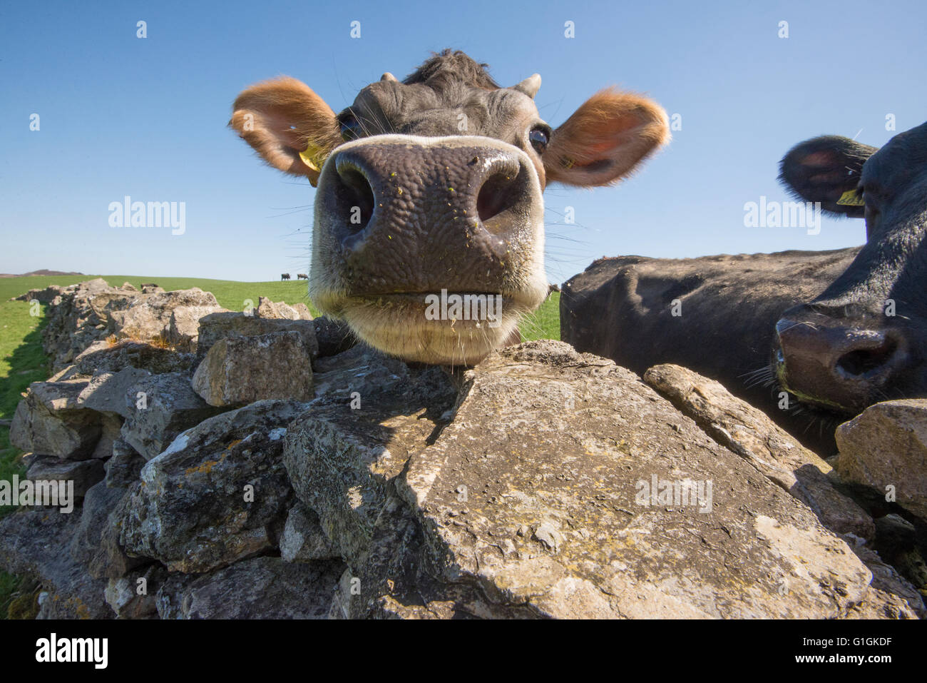 Close up of a Jersey cross dairy cow looking over a stone wall, Clitheroe, Lancashire. - Stock Image