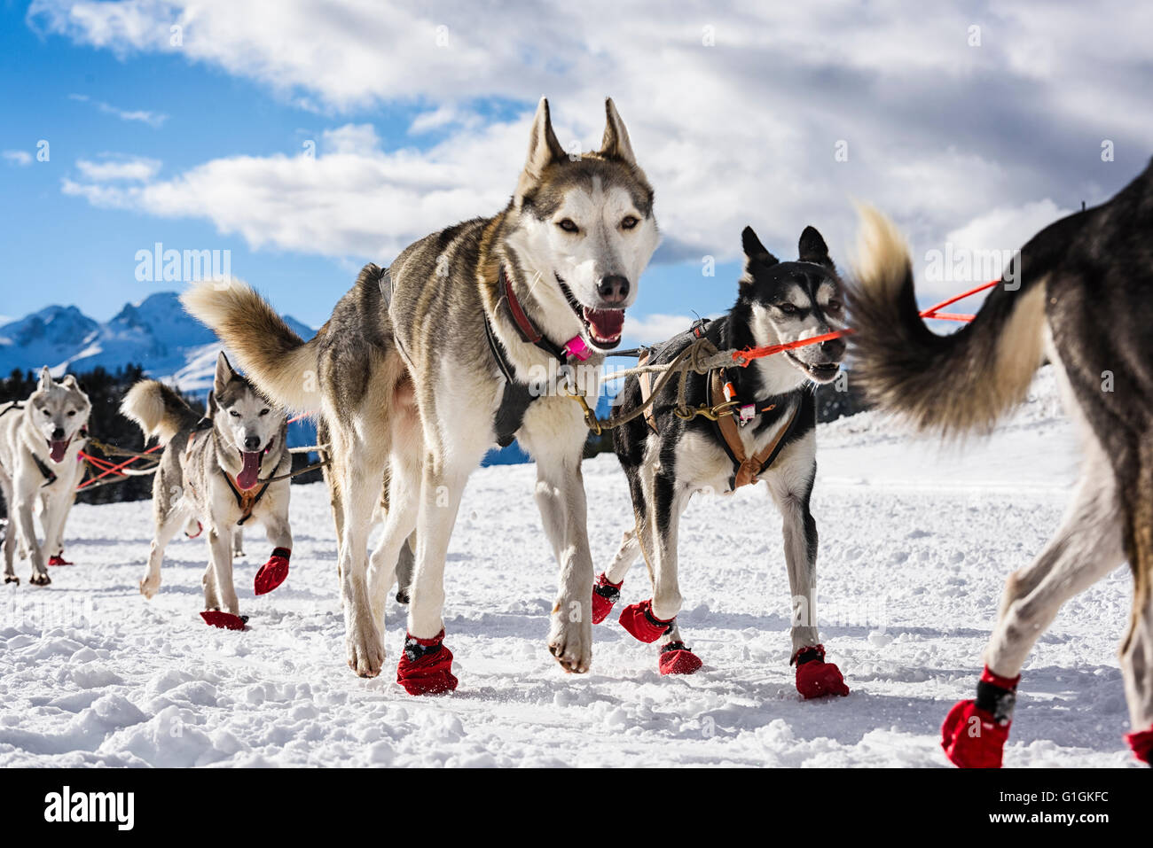 musher dogteam driver and Siberian husky at snow winter competition race in alps - Stock Image