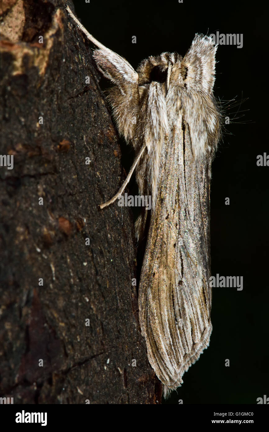 The shark moth (Cucullia umbratica). British insect in the family Noctuidae, the largest British family of moths - Stock Image