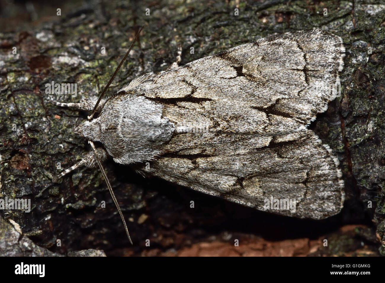 Grey dagger moth (Acronicta psi) in profile. British insect in the family Noctuidae, the largest British family Stock Photo