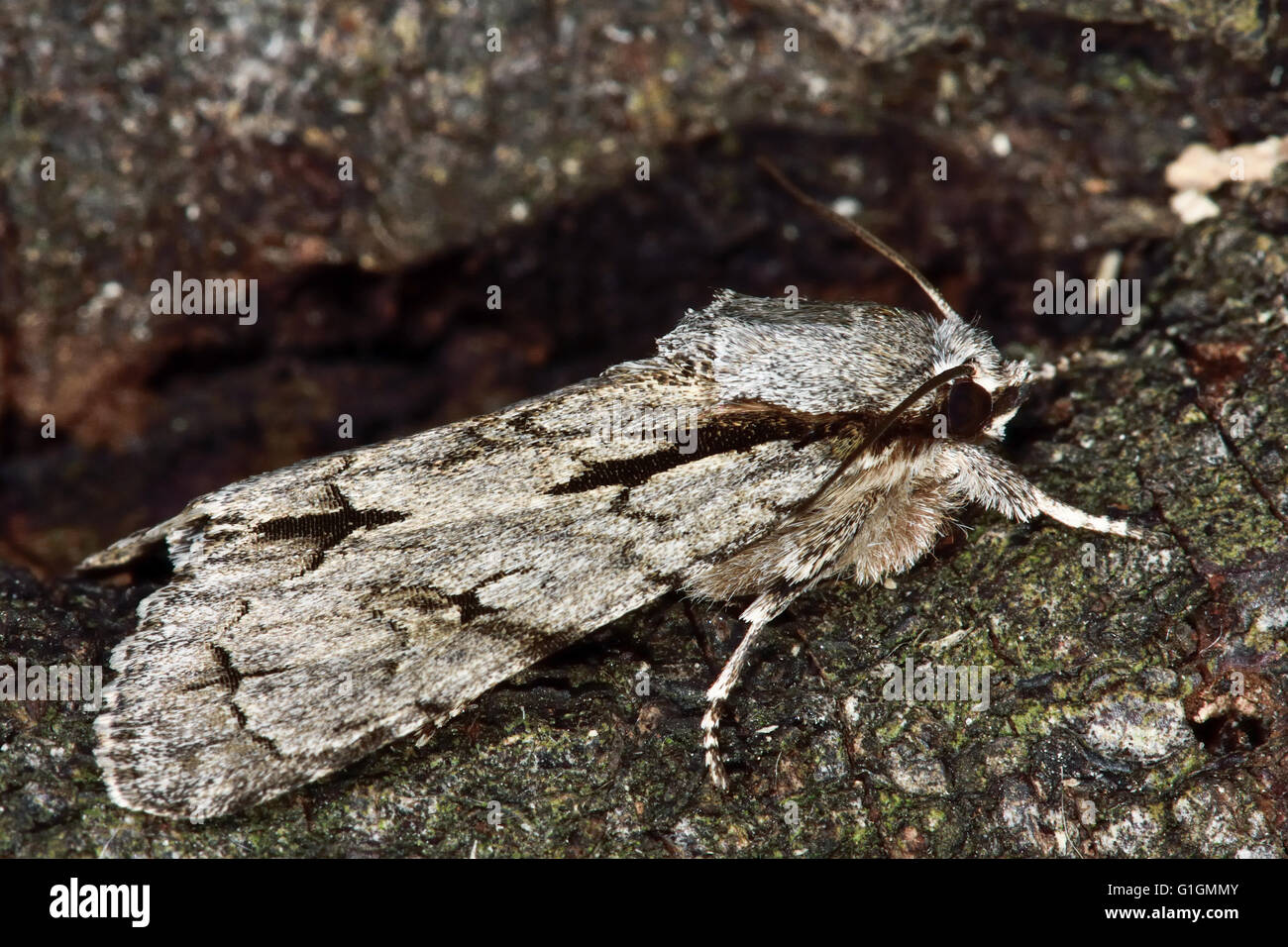 Grey dagger moth (Acronicta psi) in profile. British insect in the family Noctuidae, the largest British family - Stock Image