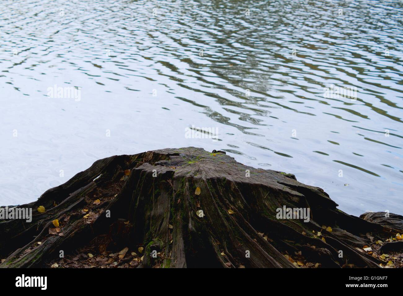 Tree stump with water rippling behind - Stock Image