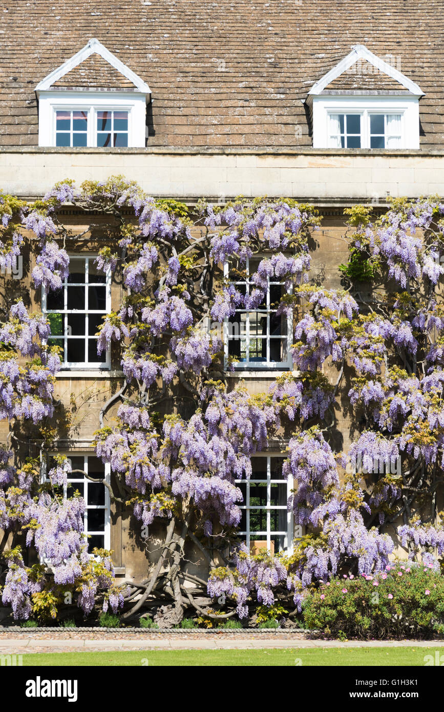 Christ's College, Cambridge, UK. 15th May, 2016. Wisteria is in full bloom giving a spectacular display at Christ's - Stock Image